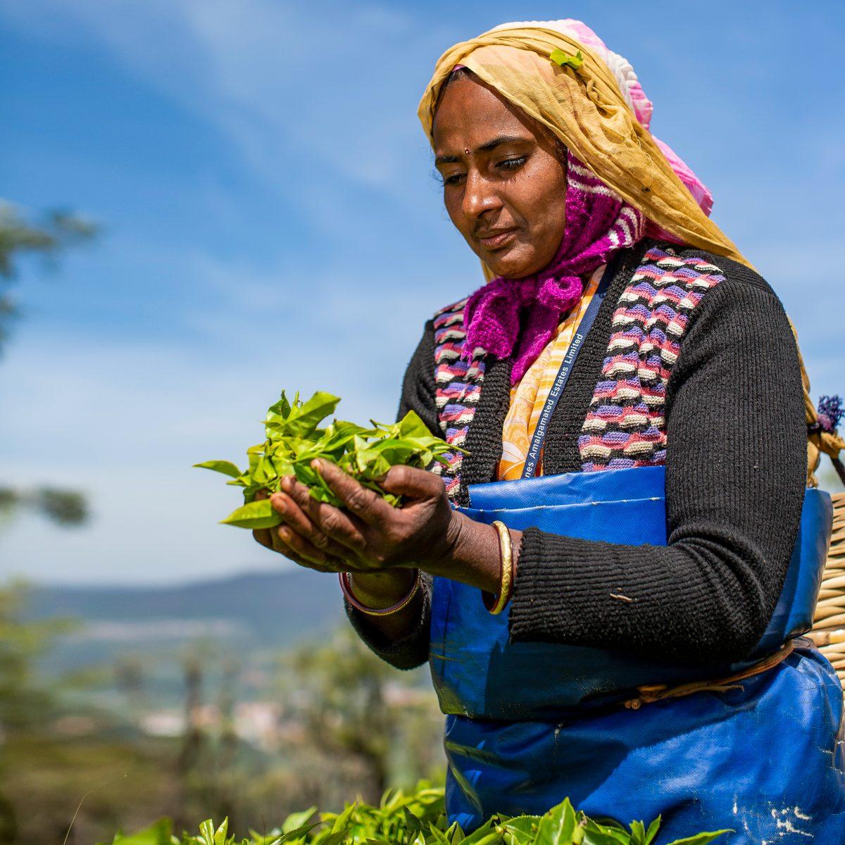Sasikala Murugaraj tea plucker